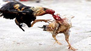 Agen Judi Ayam Online Bonus Uang Asli